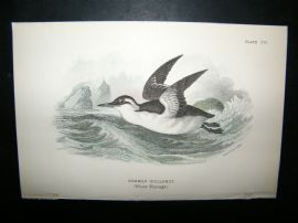 Allen 1890's Antique Bird Print. Common Guillemot